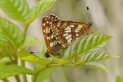 Duke Of Burgundy Butterflies. Hamearis lucina Royalty Free Stock Photography