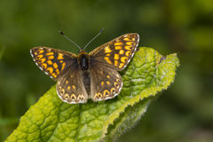 Duke of Burgundy butterfly Stock Photography