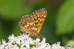 Duke of Burgundy Fritillary Stock Images