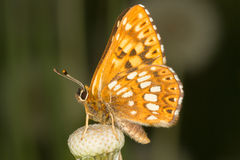 Duke of Burgundy (Hamearis lucina) butterfly Royalty Free Stock Photos