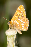 Duke of Burgundy (Hamearis lucina) butterfly Stock Photography