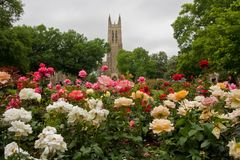 Duke Chapel. Duke University Chapel Building with Rose Garden in Front Stock Photo