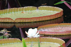 Duke Garden Lily Pads Royalty Free Stock Images