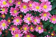 Duke Garden Pink Chrysanthemums Imagem de Stock