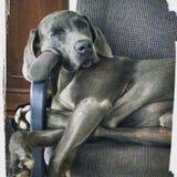 Duke. Lazy dog sleeping in office chair Stock Photos