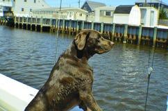 Duke Looking voor vrienden royalty-vrije stock fotografie