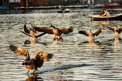 Ducks landing on water Royalty Free Stock Images