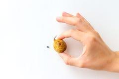 Duku con lo scarabeo Immagini Stock Libere da Diritti