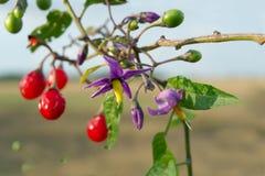 红色茄属植物(茄属dulcamara) 免版税库存照片