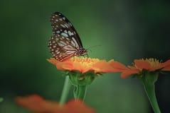 Dulce de la mariposa Foto de archivo libre de regalías