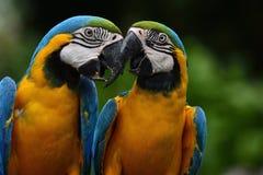 Dulce de los pájaros Azul-y-amarillos del loro del macaw y de x28; Ararauna& x29 del Ara; sabido Imagen de archivo libre de regalías