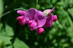 Dulce floreciente bonito Pea Flowers de las rosas fuertes Foto de archivo