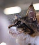 dulce mullido de la piel de los oídos del animal doméstico hermoso lindo del gato Imagen de archivo
