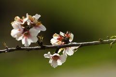 Dulcis de prunus d'amande photos libres de droits