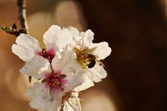 Dulcis del prunus del árbol de almendra por la mañana en Alicante España foto de archivo