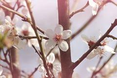 Dulcis del prunus de la almendra Fotos de archivo libres de regalías