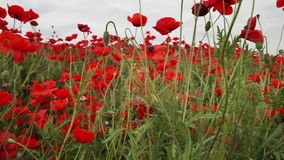 Dull day red poppies field stock video footage
