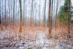 Dull and depressive winter forest landscape. European forest at bad weather in winter Royalty Free Stock Photography