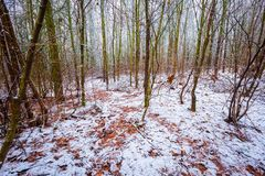 Dull and depressive winter forest landscape. European forest at bad weather in winter Royalty Free Stock Image