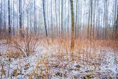 Dull and depressive winter forest landscape. European forest at bad weather in winter Royalty Free Stock Photo