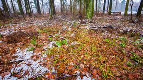 Dull and depressive winter forest landscape. European forest at bad weather in winter Stock Photography