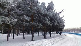 A dull winter day with magnificent thick trees Royalty Free Stock Images