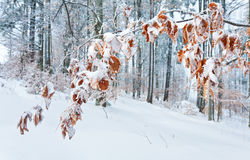 Dull winter mountain forest Royalty Free Stock Images