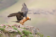 Dult bearded vulture landing on rock ledge where bones are avail Stock Images