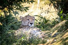 Adult cheetah takes shade in the Masai Mara. Adult cheetah, Acinonyx jubatus, takes shade from the heat of the day. Masai Mara, Kenya. This big cat is considered stock photo