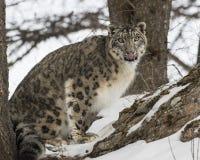 Dult de léopard de neige Photographie stock libre de droits