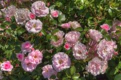 Duluth ` s kwiatu ogród w lecie Zdjęcie Stock