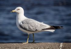 Duluth seagull. A seagull standing on a concrete wall in Duluth, Minnesota Stock Image