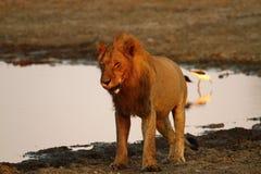 Duma Afryka Królewski lew Fotografia Royalty Free