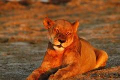 Duma Afryka Królewski lew Obrazy Royalty Free