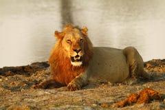 Duma Afryka Królewski lew Fotografia Stock
