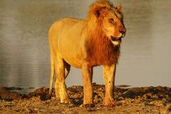 Duma Afryka Królewski lew Zdjęcie Stock