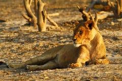 Duma Afryka Królewski lew Zdjęcia Royalty Free