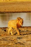 Duma Afryka Królewski lew Obrazy Stock