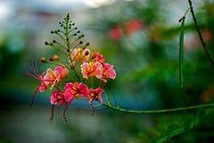Duma Barbados Caesalpinia Pulcherrima roślina kwitnie, w Barbados zdjęcie stock