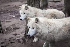 Duma biali wilki w lesie Zdjęcie Stock