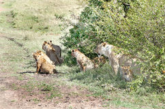 Duma lew blisko krzaka Zdjęcia Stock