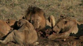 Duma lwów jeść zbiory wideo