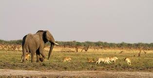 Duma lwów lisiątek stojak - daleko z dużym byka słoniem Zdjęcia Stock