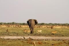 Duma lwa stojak - daleko z dużym byka słoniem Zdjęcia Royalty Free