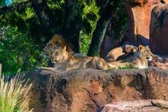 Duma lwy Zdjęcie Royalty Free