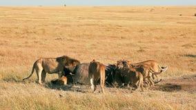 Duma lwy je modlącego się w Masai Mara zbiory