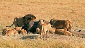 Duma lwy je modlącego się w Masai Mara zdjęcie wideo