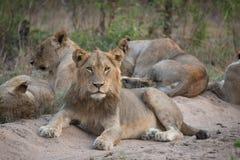 Duma lwy odpoczywa w piasku Zdjęcia Stock