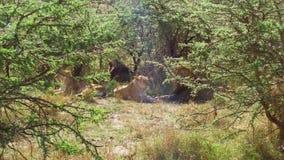 Duma lwy odpoczywa w sawannie przy Africa zbiory