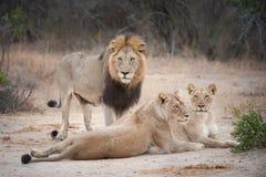 Duma lwy odpoczywa w suchym krajobrazie Obrazy Royalty Free